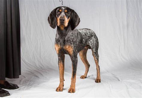 blue tick coon hound puppy bluetick coonhound puppies for sale akc puppyfinder