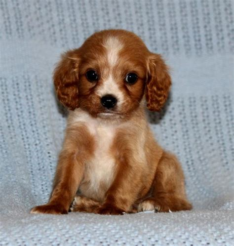 cavapoo puppies oregon adorable cavapoo puppies craigspets