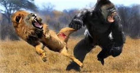 lion  gorilla real fight gorilla  lion discovery channel anidis cat  cobra snake