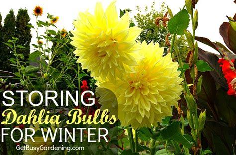 storing dahlia bulbs for winter