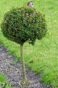 wann buxbaum schneiden buchsbaum schneiden wann wie buchs vermehren stecklinge