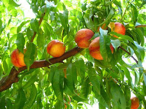nectarine tree nectarine tree flickr photo