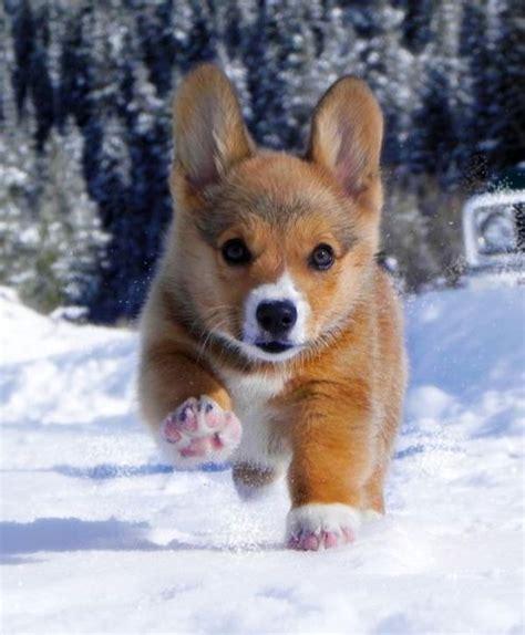 Friday Kawaii Corgi Acting by Corgi Puppy In Snow Www Pixshark Images