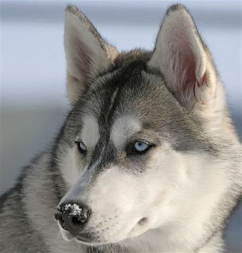 grey husky puppies siberian husky dogs alaskan huskies pictures