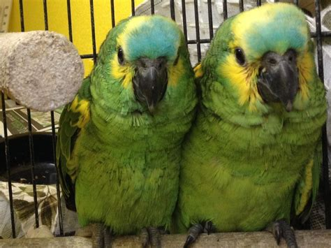 hand reared baby blue fronted amazon parrots plymouth