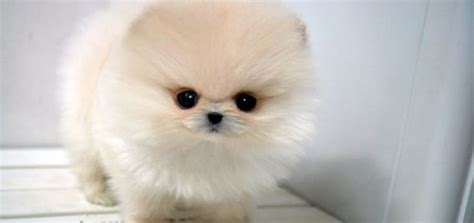 are pomeranians expensive breeds in the world breed pomeranian top 10 most expensive breeds
