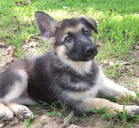 german shepherds puppies what is a heidelberg