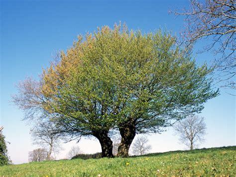 Arbre Charme Photo by Charme Charmille Plantons Le D 233 Cor