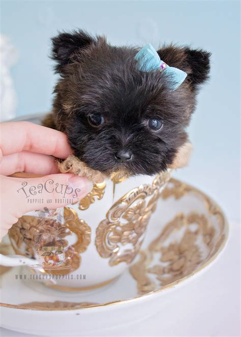 teacup puppies for sale maltese puppies south florida teacups puppies boutique