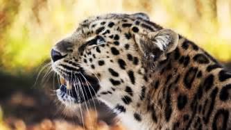 Leopard Bird leopard 1080p wallpaper http www 56pic animals