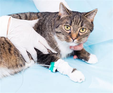 cat and hospital preventative health and wellness cat perth cat hospital perth cat vet