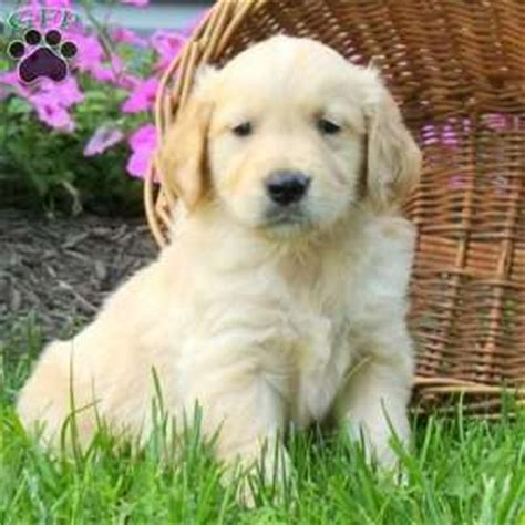 golden retriever puppies albany ny golden retriever puppies for sale near jamestown ny dogs our friends photo