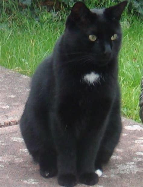 spot on paw reward 194 163 2 500 for return of black cat white spot on chest and left hind paw