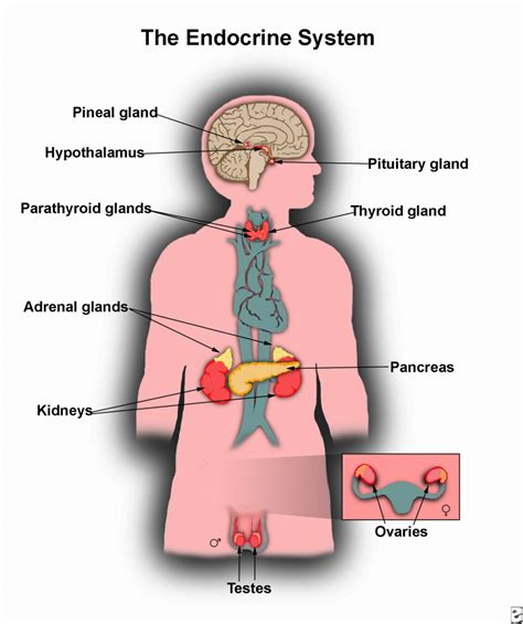 diagram of the endocrine system endocrine system diagram unlabeled anatomy organ