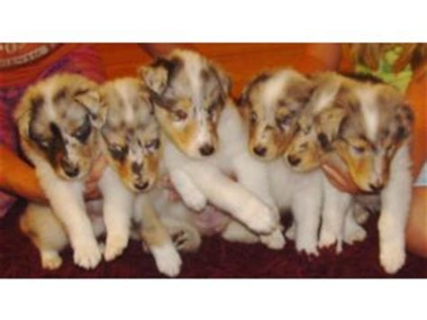 collie puppies for sale in ohio blue merle collies for sale in northern ohio breeds picture