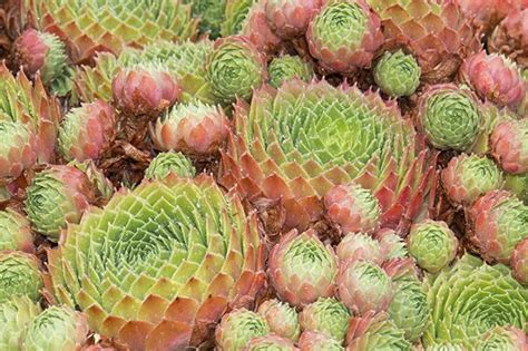 33 best ideas about succulent photos on pinterest ohio leaves and hens