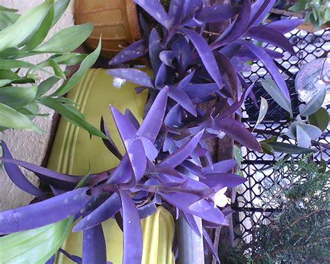 purple foliage plants garden care simplified purple colored leaf plant