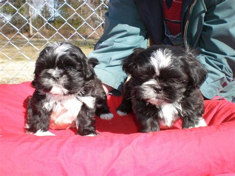 shih tzu china puppies for sale imperial shih tzu shih tzus imperial shih tzus