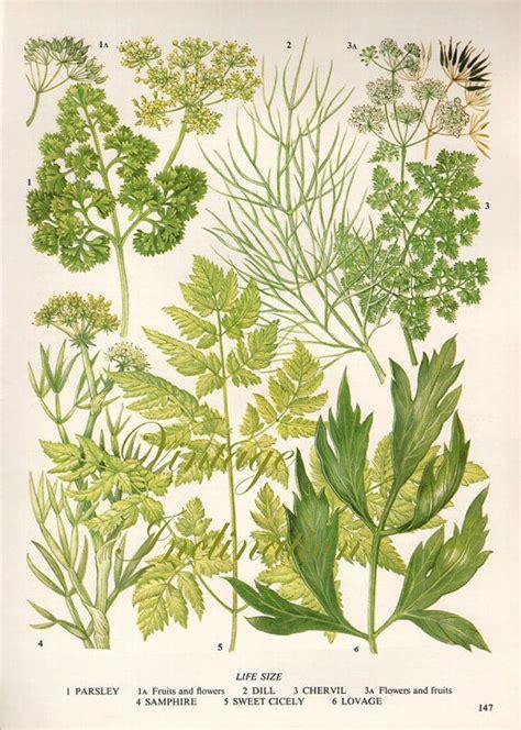 printable botanical images herbs vintage botanical print antique plant print 147