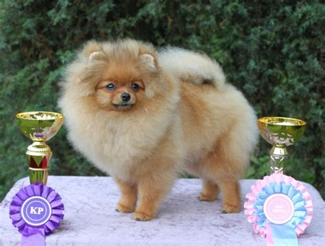 pomeranian murmur chosen one kennel
