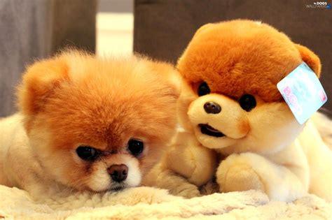 pomeranian doll pomeranian plush dogs wallpapers 2048x1365