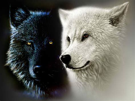 white wolf and black wolf 1600x1200 wallpapers wolf black and white wolf wallpaper wallpapersafari
