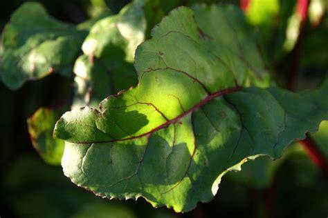 cuisiner les feuilles de betteraves rouges la cuisine du jardin betteraves