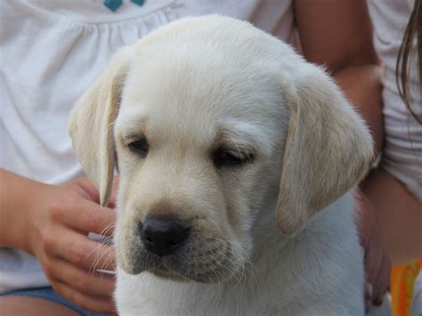 yellow lab puppies yellow lab puppy