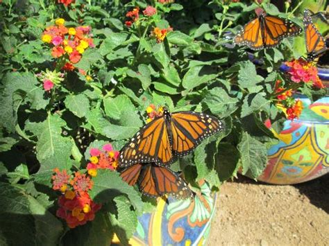 Butterfly Garden Az by Monarch Butterfly Migration Stop At The Gardens