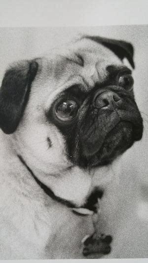 otis pug pug story in memory of otis the pug