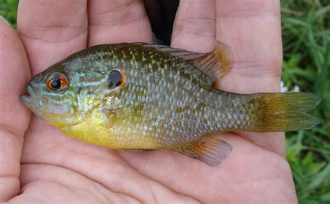 thames river ontario fish species sunfish northern fishingwithpole roughfish com