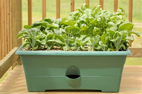 how to grow a herb garden in pots growing spinach in containers learn about the care of