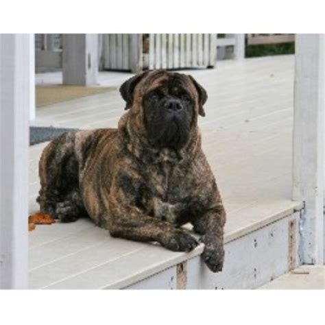 Bullmastiff For Stud In Marion Carolina Breeds Picture