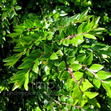 plant pictures lonicera piliata