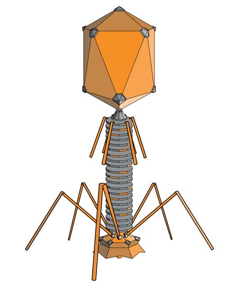 labelled diagram of bacteriophage bacteriophage