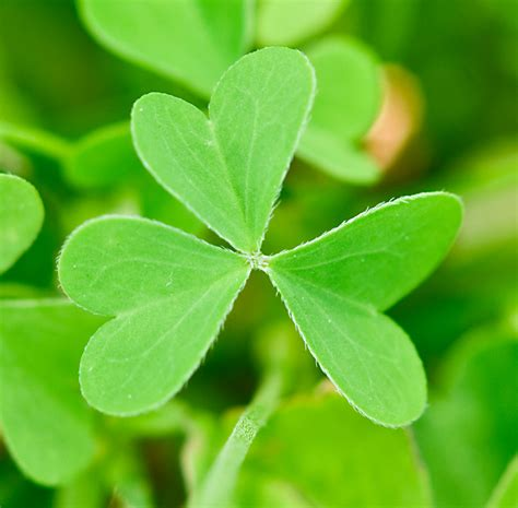 three leaf clover plant plant a day common yellow oxalis naturally speaking