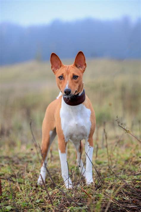 dogs origin basenji history breeds picture