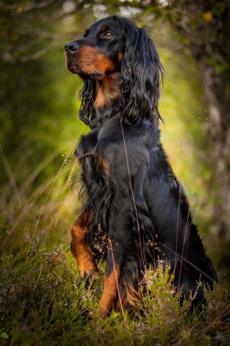 setter dog baby gordon setter first i will have an english cocker and