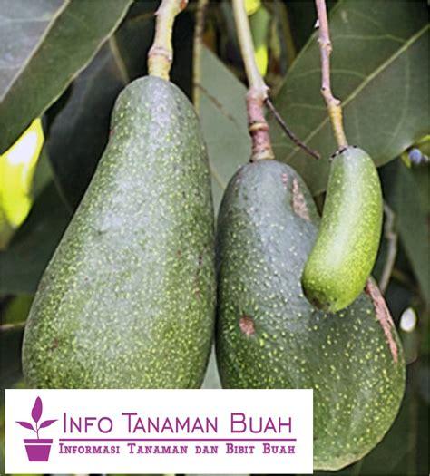 Bibit Mangga Alpukat Semarang bibit alpukat aligator buah besar lonjong dengan daging