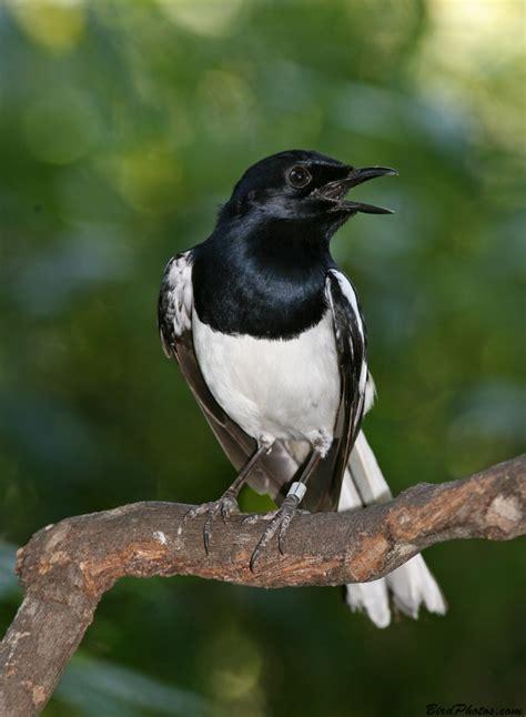 Buku Pintar Segala Jenis Burung Kicauan Cueng Jenis Burung Kacer
