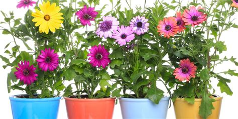 piante fiorite da terrazzo le piante fiorite a marzo per vasi e cassette cose di casa