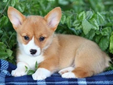 how much do corgi puppies cost pembroke corgi photos jpg