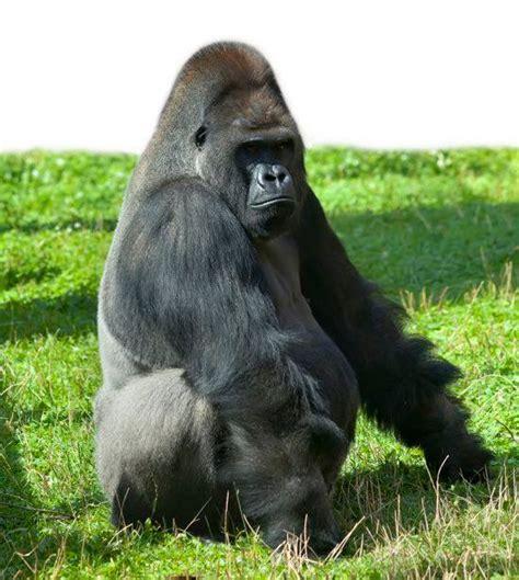 il gorilla testo il gorilla furioso i testi della tradizione di