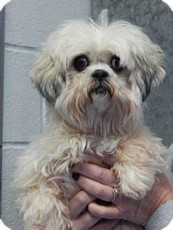 shih tzu in nj sparta nj shih tzu mix meet a for adoption