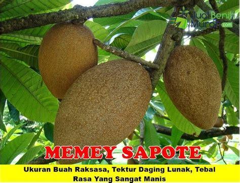 Bibit Buah Mamey Sapote 344 best tanaman buah unggul 085707858020 images on