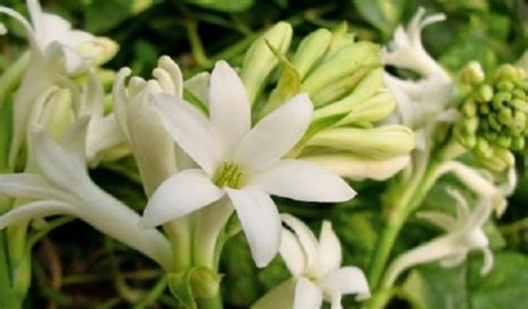 menanam  merawat bunga sedap malam bibit