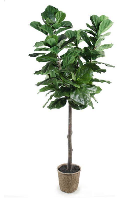 fiddle fig tree fiddle leaf fig tree contemporary artificial plants and trees by new growth designs