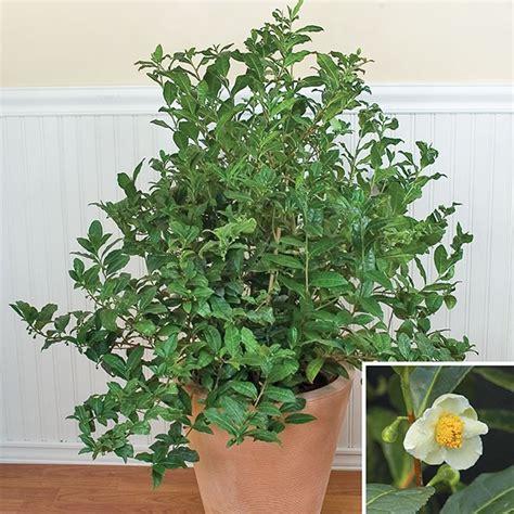 tea plants camellia sinensis tea plants  sale
