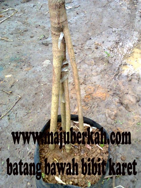 Bibit Durian Bawor Wonogiri bibit karet 4 batang bawah jual bibit karet 4 batang bawah