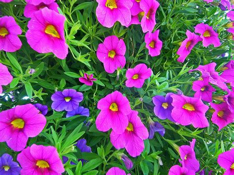 Pink And Purple L pink and purple petunias photograph by aimee l maher